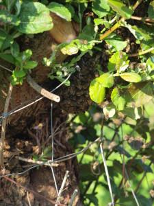 Bienenschwarm in der Kopfweide
