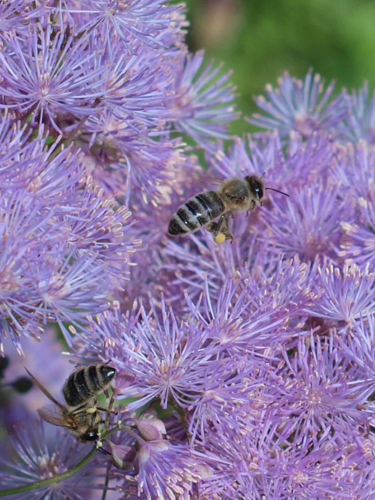 Wiesenraute mit Bienen