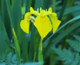 Gelbe Wasseriris
