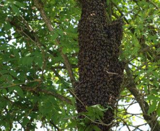 Bienenschwarm im Holler