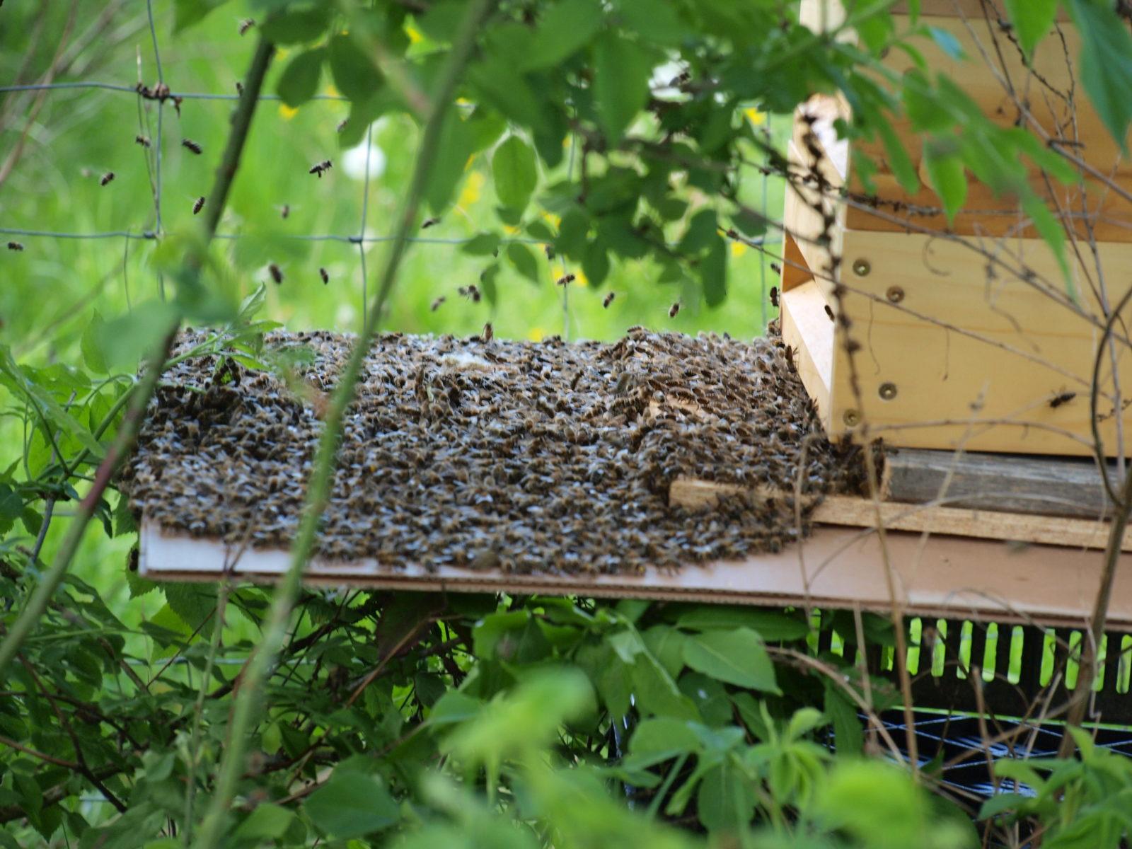 Bienenschwarm beim Einzug